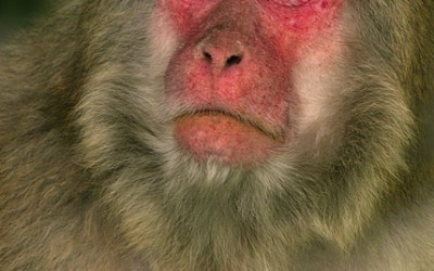 Japanese macaque 01