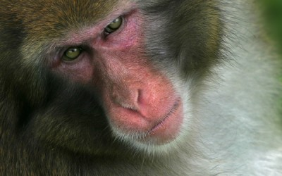 Japanese macaque 02