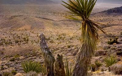 Nevada desert - Joshua tree