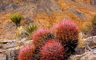 Nevada desert cactus