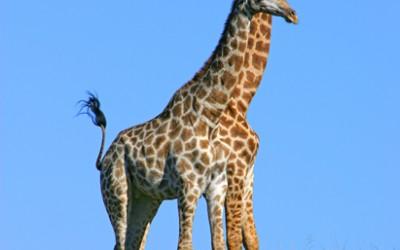 Pumba reserve - Giraffes