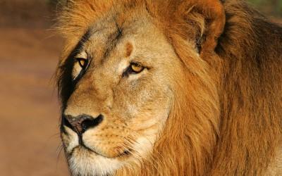 Pumba reserve - Lion
