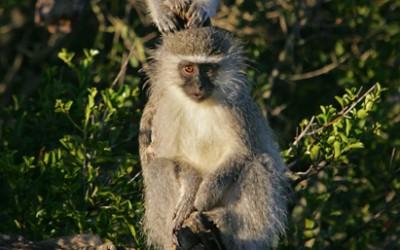 Pumba reserve - Vervet monkey