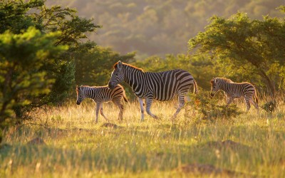 Zebras on the Pumba reserve